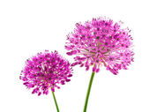 Allium Purple Sensation Flower — 图库照片