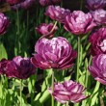Close up of purple flowers — Stock Photo
