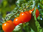 Red Ripe Tomatoes on the Vine — Stock Photo