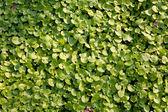 Tło zielony liść — Zdjęcie stockowe