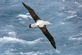 Wandering albatross in vlucht — Stockfoto