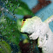 White and green gecko focus on eye — Stock Photo