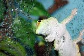 White and green gecko focus on eye — Stock Photo