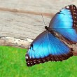 Blue butterfly on wood — Stock Photo