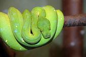 Green tree python snake — Stock Photo
