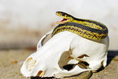 Garter Snake on a fox skull — Stock Photo