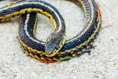 Garter snake on sand — Stock Photo