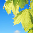 Backlite maple leaves — Stock Photo