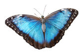 Isolated blue morpho menelaus Butterfly — Stock Photo