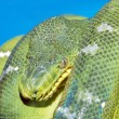 Coiled green boa snake — Stock Photo