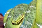 Coiled green boa snake — Stock Photo