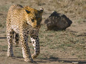 Walking leopard — Stock Photo