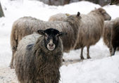Warm sheep in the winter cold. — Stock Photo