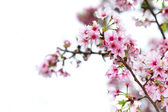 Cherry blossom on a white background — Stock Photo