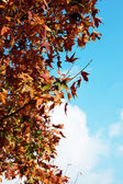Autumn Maple look towards the sun — Stock Photo