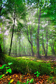 Foresta incantata. — Foto Stock
