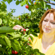Picking cherries — Stock Photo #2389484