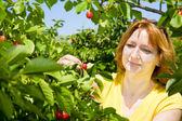Zbieranie wiśni — Zdjęcie stockowe