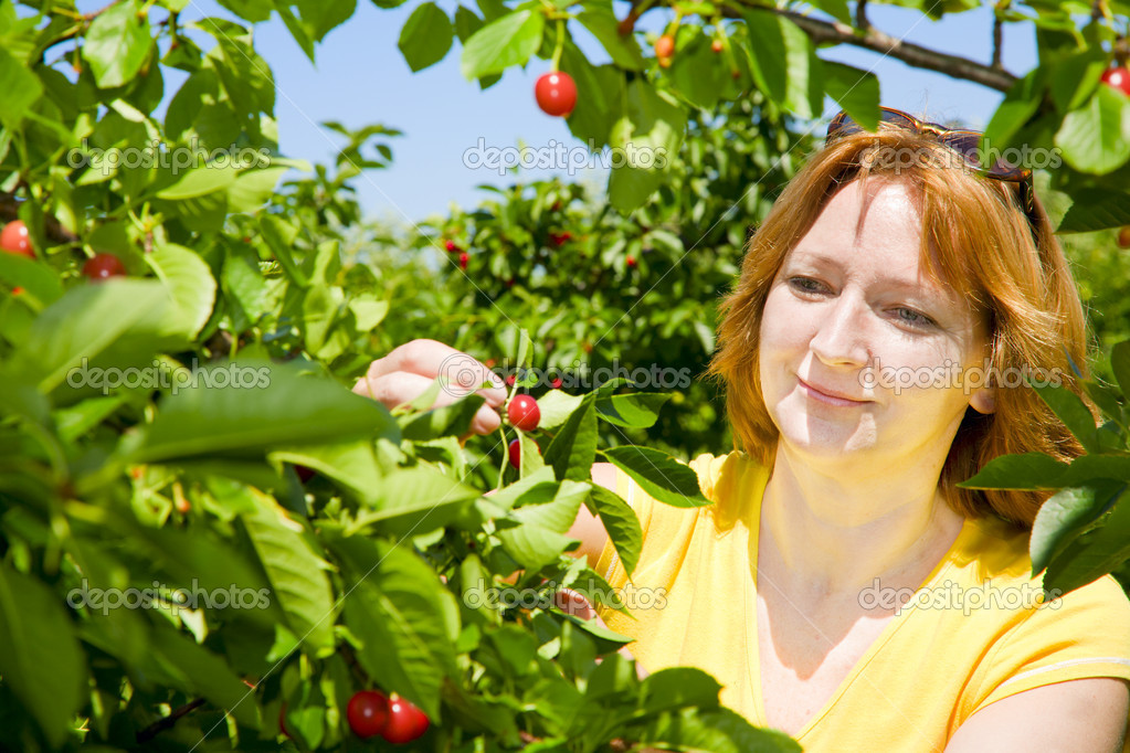A woman picking cherries at the farm in Indiana.  Stock Photo #2389484