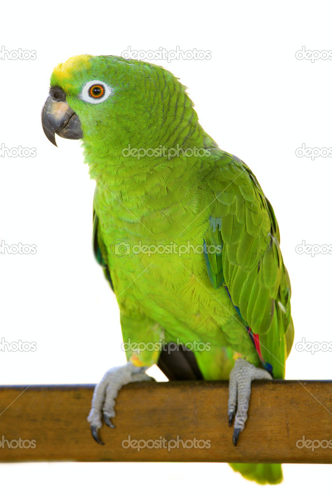 Large Yellow-crowned Amazon Parrot sitting on a wooden plank. Isolated on white background — Stock Photo #2389581