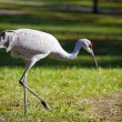 Sandhill Crane — Stock Photo #2395340