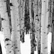 Aspen trees — Stock Photo #2395418