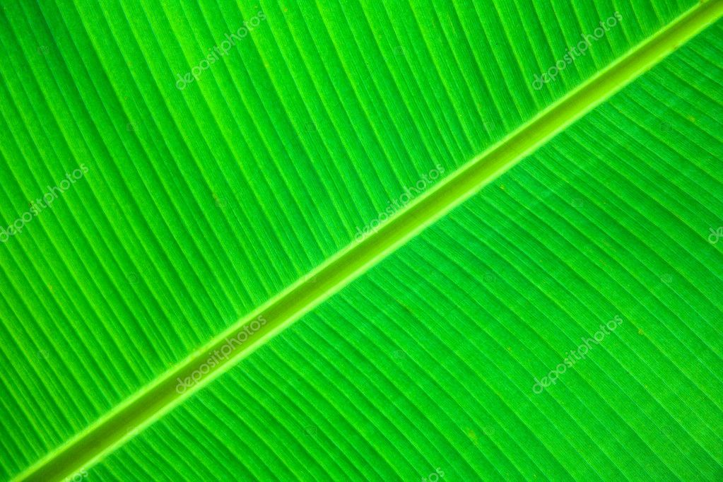 Close-up of a large green leaf showing detail — Stock Photo #2394974