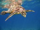 Tortugas marinas — Foto de Stock