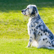 english setter — Stock Photo