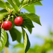 Tart cherries - Stock Photo