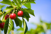 Tart cherries — Stock Photo