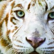 Eyes of the albino tiger — Stock Photo #2546059