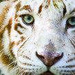 Eyes of the albino tiger - Stock Photo