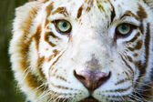 Eyes of the albino tiger — Stock Photo