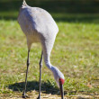 Sandhill Crane — Stock Photo #2586960