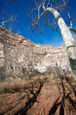 Sycamore trees — Stock Photo