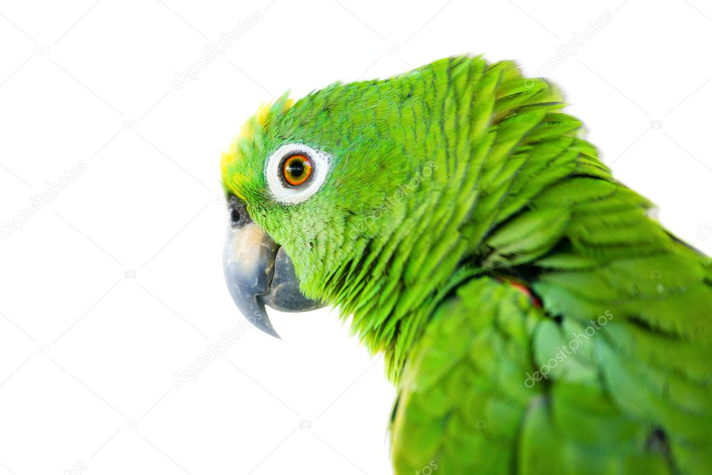 Portrait of a large Yellow-crowned Amazon Parrot. Isolated on white background — Stock Photo #2615518