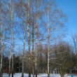 Stock Photo: Birch trees in snow