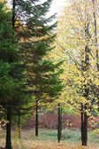 Pine and birch tree — Stock Photo