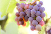 Bunch of red grape — Stock Photo