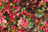 Red berry on a bush — Stock Photo