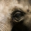 Elephant head close up — Stock Photo #2310349