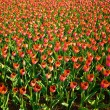 A field of red tulips — Stock Photo #2376663