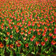 A field of red tulips — Stock Photo