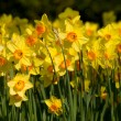 A field of yellow daffodils — Stock Photo