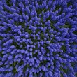 A bed of hyacinths top view — Stock Photo