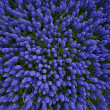 A bed of hyacinths top view — Stock Photo #2376805