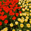 A field of red and yellow tulips — Stock Photo #2376859