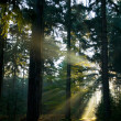 Sun rays in the forest - Stock Photo