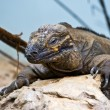 Foto de Stock  : Sleepy iguanresting